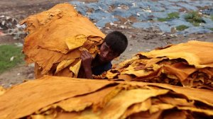 A Bangladeshi boy carries a bundle of leather at a tannery. Picture: AP